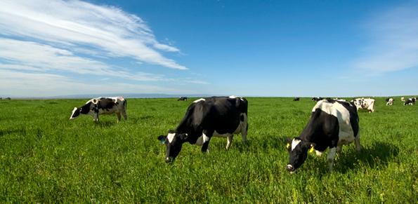 cowsgrazing.jpg